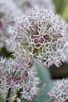 Allium, Kara Tau Garlic, Allium karataviense,  Close up of globe shaped flower head growing outdoor.