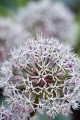 Allium, Kara Tau Garlic, Allium karataviense,  Close up of globe shaped flower head growing outdoor.