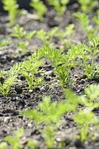 Carrot 'Tendersnax', Daucus carota 'Tendersnax', Green coloured leaves growing in soil outdoor.