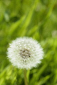 Dandelion clock, Taraxacum officinale, Single white globe shaped seedhead against grass background.