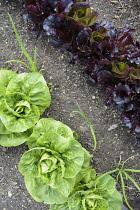 Lettuce, Lactuca sativa, Mixed varieties growing outdoor in soil.