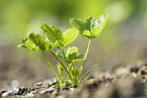 Parsnip 'Gladiator', Pastinaca sativa 'Gladiator', Green leaves growing outdoor in soil.