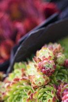 Houseleek, Sempervivum atlanticum, Close up showing pattern.