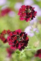 Verbena, Red flowers growing outdoor.