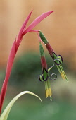 Angels Tears, Billbergia nutans, Single stem with two colourful  flowers growing outdoor.
