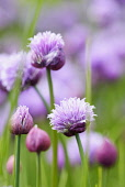 Chive,	Allium schoenoprasum, Mass of mauve coloured flowers growing outdoors.