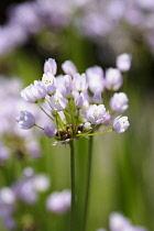 Allium, Allium unifolium, Close up of mauve coloured flowers growing outdoor.