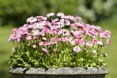 Daisy, Double daisy, Bellis perennis Tasso series, Group of pink coloured flowers growing outdoor in a planter.