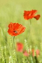 Poppy, Field poppy, Papaver rhoeas, Red flowers in field of green cereal crop.