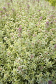 Thyme, Thyme 'Silver Queen', Thymus vulgaris 'Silver Queen', Mass of green coloured herb growing outdoor.