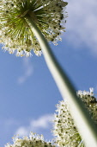Allium,Allium 'Mont Blanc', Looking up to globe shaped flowerhead.