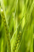 Barley, Hordeum vulgare, Mass of green unripe grain crop.