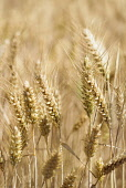 Barley, Hordeum vulgare, Mass of golden ripe grain crop.