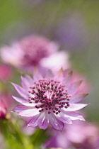 Astrantia, Masterwort, Great masterwort, Astrantia major, Close up of pink coloured flower growing outdoor.