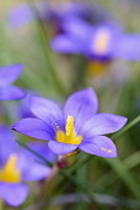 Crocus-leaved romulea, Romulea bulbocodium, Delicate purple coloured flowers growing outdoor.