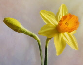 Daffodil, Narcissus, Flower as a colourful artistic representation.