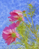 Cosmos, Pink flowers, Artisitic textured layers added to image to produce a painterly effect.