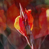 Canna lily, , Orange flower, Artisitic textured layers added to image to produce a painterly effect.