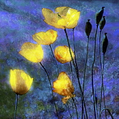 Poppy, Californian poppy, Eschscholzia Californica, Yellow flowers, Artisitic textured layers added to image to produce a painterly effect.
