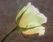 Rose, Rosa, Cream flower, Artisitic textured layers added to image to produce a painterly effect.