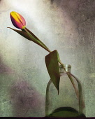 Tulip, Tulipa, Single stem in glass jar vase, Artisitic textured layers added to image to produce a painterly effect.