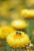 Everlasting flower, Helichrysum, Yellow coloured flower growing outdoor with bee collecting pollen.