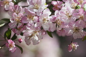 Crab apple, Japanese crab, Malus floribunda,Detail of pink coloured blossoms growing outdoor.