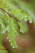 Swamp Cypress, Taxodium distichum, Rain drops hanging from green foliage after a shower.