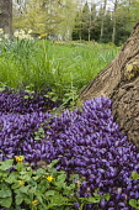 Purple toothwort, Lathraea cladestina, Rare parasitic plant living on willow tree roots, North Yorkshire, April.