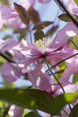 Clematis, Clematis montana, Backlit pink coloured flowers growing outdoor.
