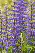 Lupin, Lupinus, Purple coloured flowers growing outdoor.