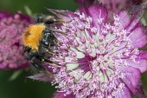 Astrantia, Masterwort, Tree Bumble Bee, Bombus hypnorum, feeding on flower.