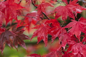 Maple, Japanese maple, Acer palmatum, Bright red autumn leaves wet after rain.