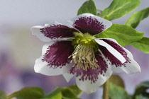 Hellebore, Helleborus x hybridus 'Harvington white speckled', Purple and white flower growing outdoor.