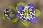 Hepatica, Hepatica nobilis, Aerial view of two delicate flowers opening.