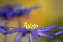 Anemone, Anemone blanda, Windflower Anemone blanda, Side view of single flower growing outdoor showing yellow stamen.