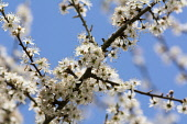 Blackthorn, Sloe, Prunus spinosa, White blossoms against blue sky.