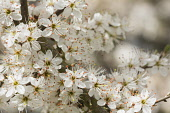 Blackthorn, Sloe, Prunus spinosa, White blossoms growing outdoor.