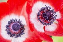 Anemone, Poppy windflower, Anemone coronaria 'De Caen', Two intensly coloured single flowers growing outdoor.