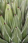 Agave, Royal agave, Agave victoriae-reginae, Detail of green leaves showing pattern.