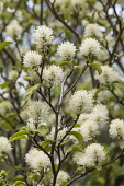 Mountain witch alder, Fothergilla major Monticola Group, White coloured blossoms on the tree.