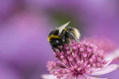 Astrantia, Masterwort, White-tailed Bumble bee, Bombus lucorum, pollinating an pink flower in a garden.