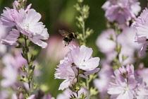 Prairie mallow, Sidalcea malviflora, White-tailed Bumble bee, Bombus lucorum, flying to pollinate pink flowers.