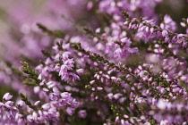 Heather, Calluna vulgaris, Close up of section purple flowers on moorland Co Durham.