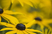 Coneflower, Black-eyed Susan, Rudbeckia, Close up of yellow flower growing outdoor.