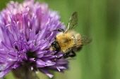 Chive, Allium schoenoprasum, Tree Bumble bee, Bombus hypnorum, pollinating purple coloured flower.