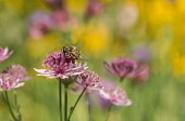 Astrantia, Masterwort, Hoverfly pollinating pink coloured flower.