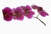 Orchid, Moth orchid, Phalaenopsis, Studio shot of several pink open flower heads on horizontal stem.