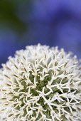 Allium, Allium 'Mount Everest', Close up detail of white globe shaped flowerhead.