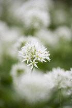 Allium, Garlic, Wild garlic, Allium ursinum, Side view of white flower growing outdoor.